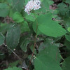 Corymbed Spirea (Spiraea betulifolia var. corymbosa)