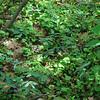 Maianthemum Stellatum Population 7