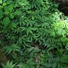Maianthemum Stellatum Population 1