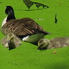 Canada Geese in Duckweed