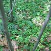 Maianthemum Stellatum Population 6