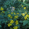 Tall Coneflower (Rudbeckia laciniata) & Trumpetweed (Eupatoriadelphus fistulosus)