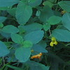 Spotted & Pale Jewelweed