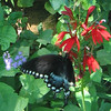 Dark Tiger Swallowtail (Pterorus glaucus) on Cardinalflower (Lobelia cardinalis)