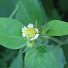 Small-flowered Leafcup (Polymnia canadensis)