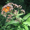 Monarch Butterfly (Danaus plexippus) on Trumpetweed