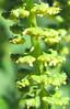 Great Ragweed (Ambrosia trifida)