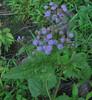 Mist Flower (Conoclinium coelestinum)