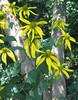 Green-headed or Cutleaf Coneflower (Rudbeckia laciniata)