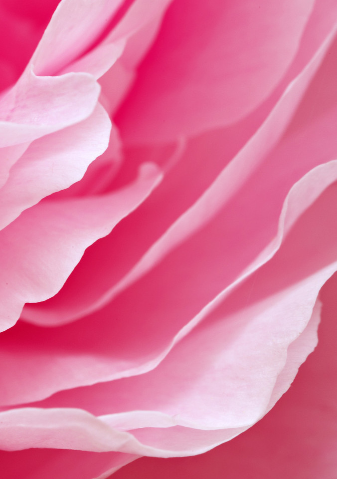 Pink petals on a Peony flower.
