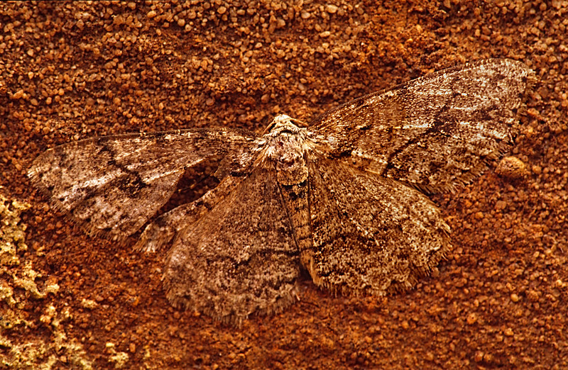Brick moth - hidden in plain sight