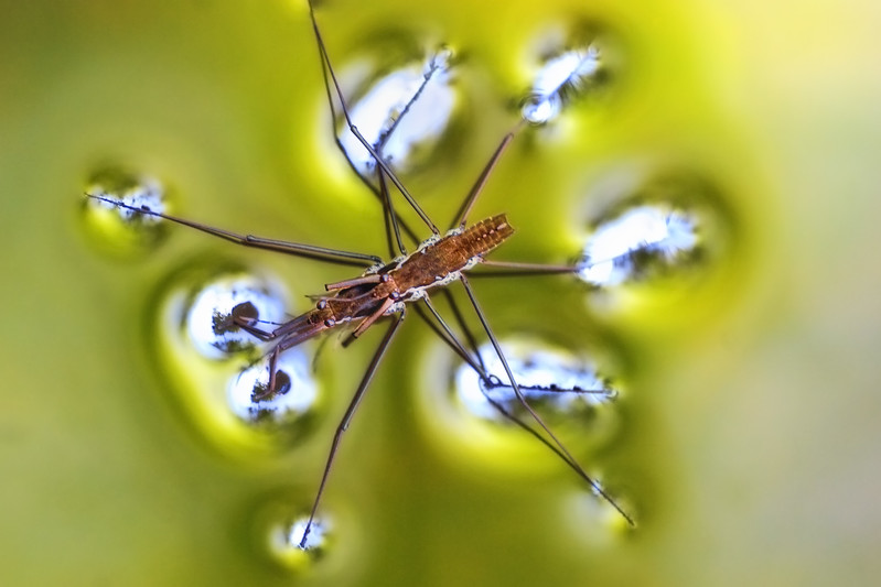 Mating water striders