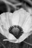 Poppy in black and white