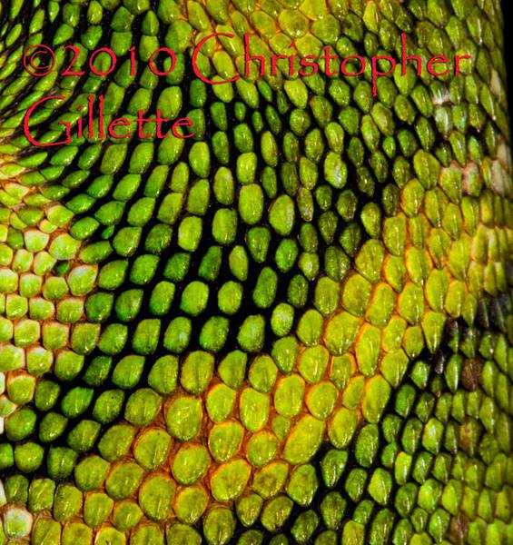 Polychrus marmoratus b