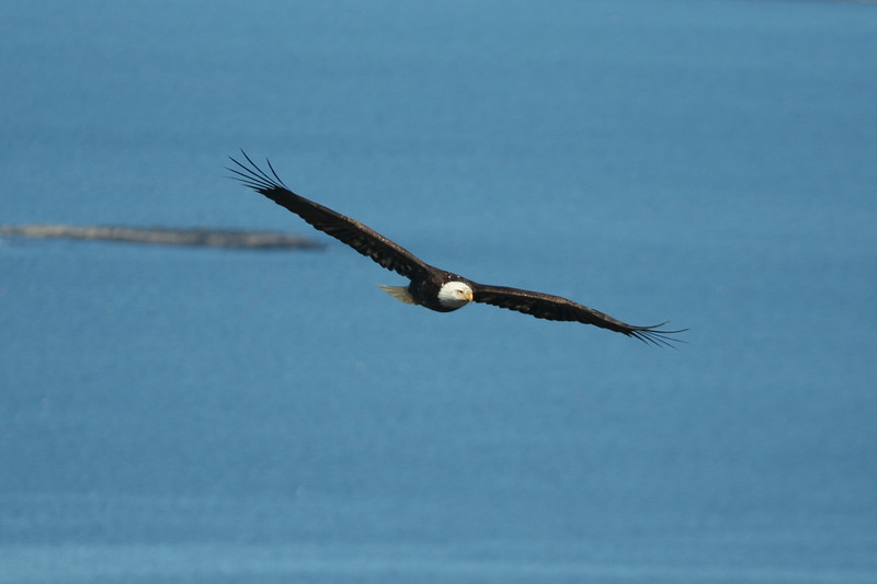 A Bald Eagle from the top of The Beehive, Acadia