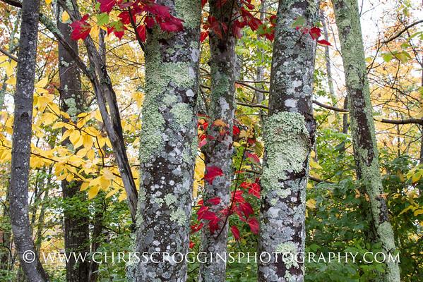Acadia Autumn Leaves