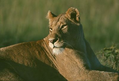 This photograph, of a lioness in Africa, was the slide of the year for the New Haven Camera Club for the 2003-04 season.