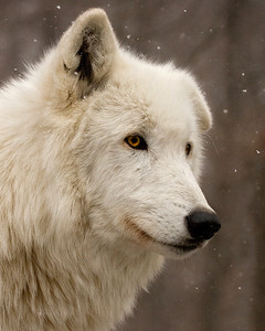 This photograph by Lisa appeared in the 2008 Wolf Conservation Center (WCC) calendar. You can purchase the 2008 calendar from their website. http://www.nywolf.org/