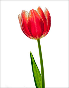 Lisa Cuchara NHCC Print of the Year Tulip