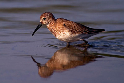 New Haven Camera Club Slide of the Year June 2005 Shore Bird_Sand Piper_FLA_printed_1839