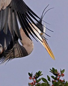 C37-011406_1024AM-5290 great blue heron   This photograph placed FIRST PLACE in the 2006 WILD BIRD photo contest.