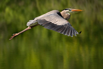 This photograph of a Great Blue Heron by Lisa Cuchara won an award in the New England Camera Club Council Interclub Nature Competition consisting of 100 photographs from 25 Camera Clubs from the New England region.