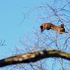 Hoppande Ekorre