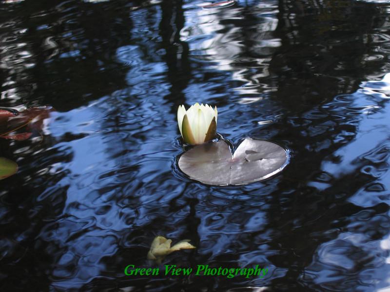 Silky water lilypad