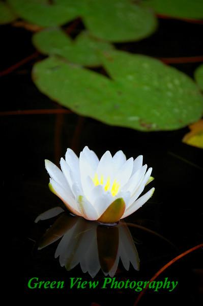 Portrail Lilypad Flower