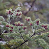 Spruce buds