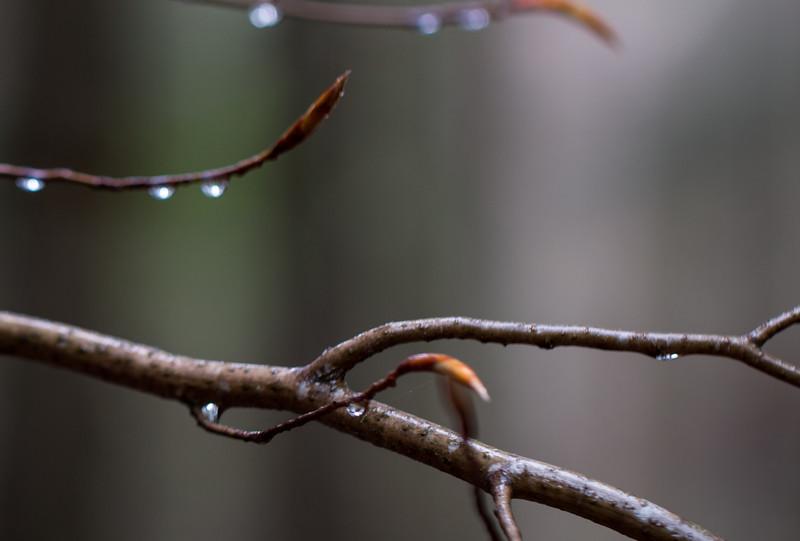 Emerging beech buds