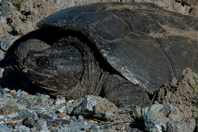 Snapping turtle laying her eggs in the nest