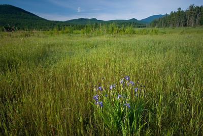 Group of wild irises