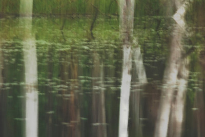 White birch trees in abstract