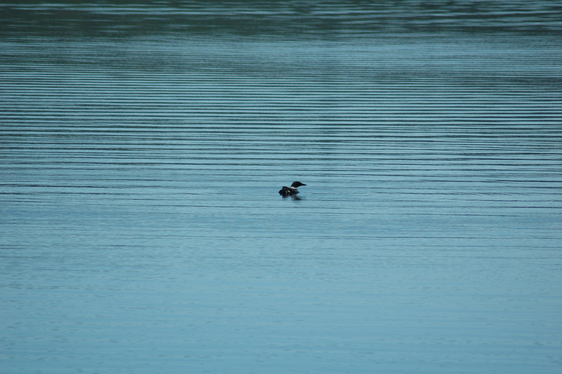 Loon - Tupper Lake, NY