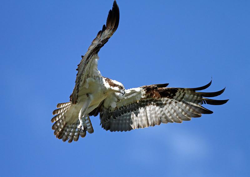 IMG_5451 Twin Peaks Osprey<br /> Boulder County Colorado