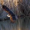 IMG_8952 Osprey over a lake.<br /> Boulder County Colorado