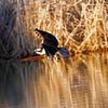 IMG_8951 Osprey over a lake.<br /> Boulder County Colorado