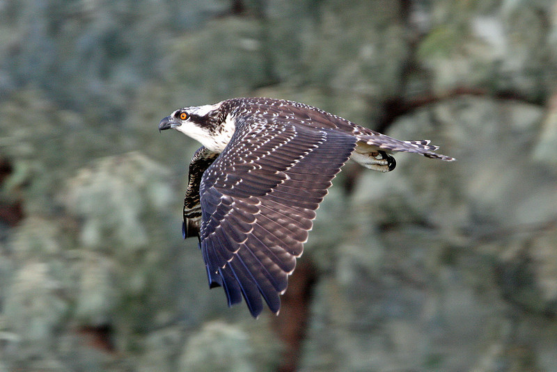 Osprey in flight.<br /> Boulder County,Colorado