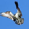 IMG_2253 Twin peaks osprey