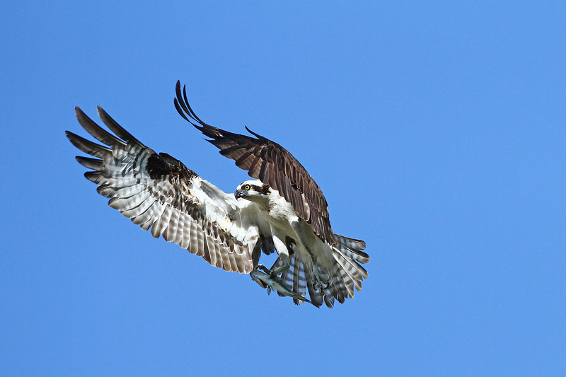IMG_6204 Twin Peaks Osprey<br /> Boulder County,Colorado