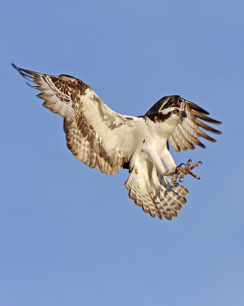 Osprey landing<br /> Boulder County,Colorado