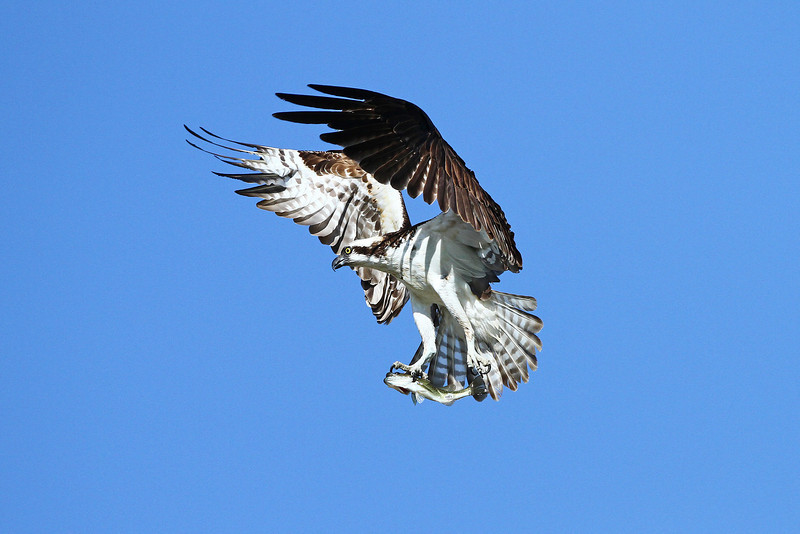 IMG_6206 Twin Peaks Osprey<br /> Boulder County,Colorado