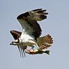 IMG_6785  Osprey.