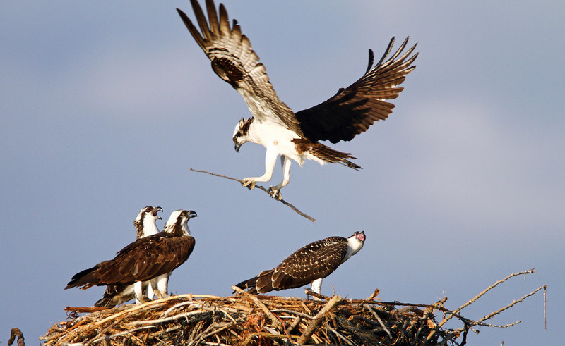 Osprey family in their nest.<br /> Boulder County Colorado..series