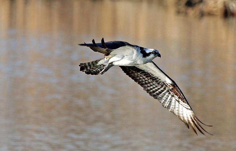 Osprey in flight.<br /> Boulder County,Colorado