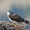 Adult Osprey in it's nest.<br /> Grand Teton Nat'l Park,Wyoming..series