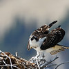 Osprey,ready for flight.<br /> Teton Nat'l Park,Wyoming