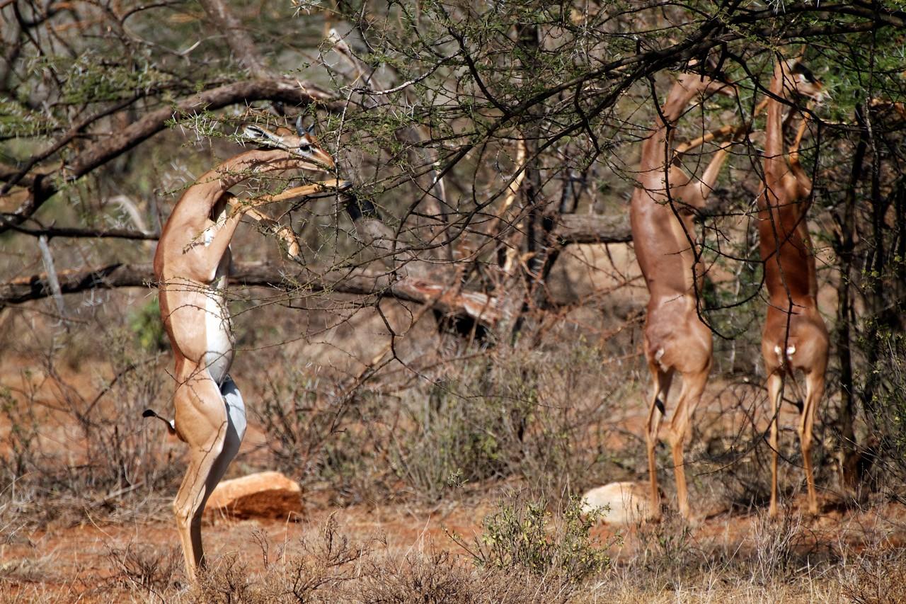 Gerenuks, Samburu, Kenya