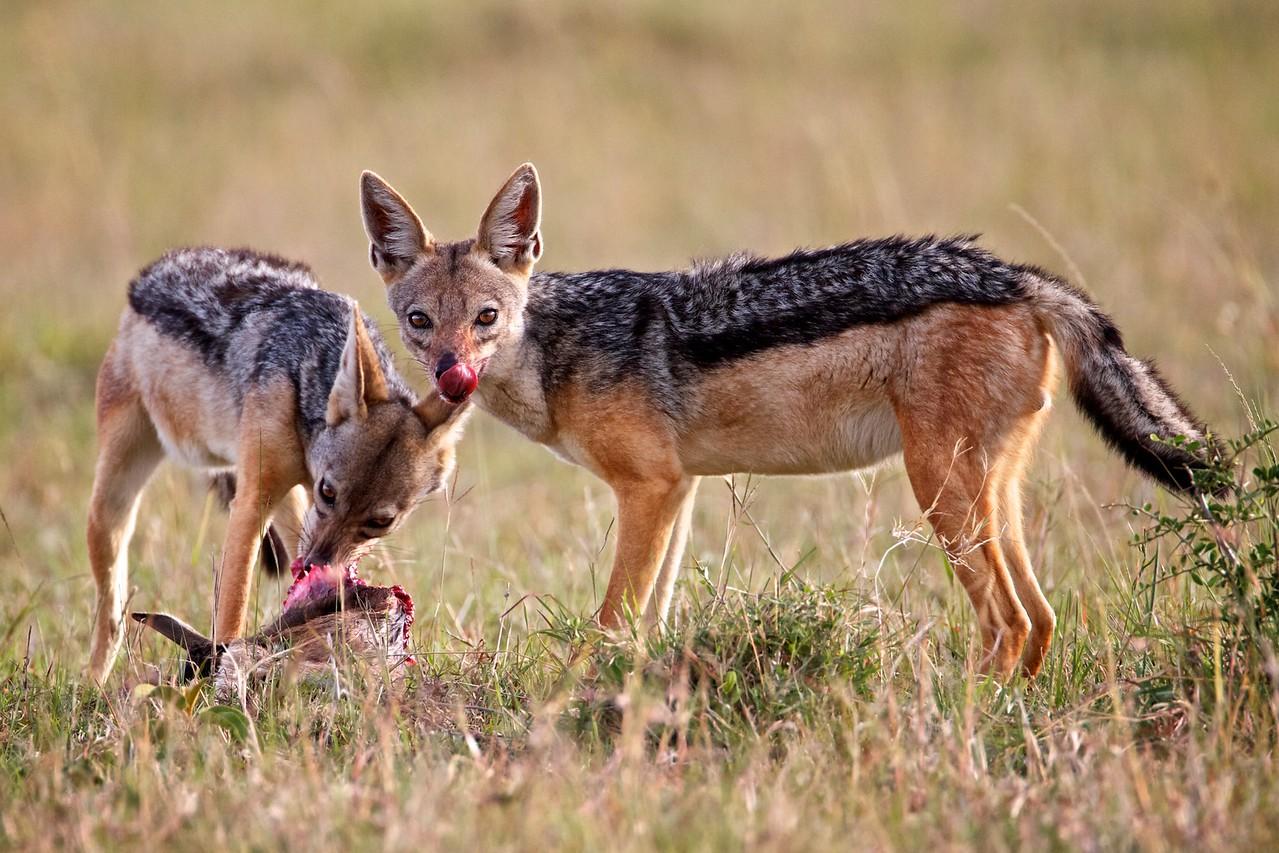 Two jackals split a baby Thomson's gazelle, Masai Mara, Kenya